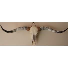 Longhorn s